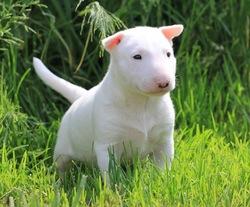 Heelou, chien Bull Terrier