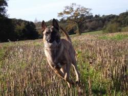 Heather, chien Berger belge