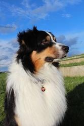 Heaven, chien Berger australien