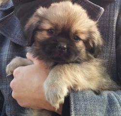 Heaven, chien Épagneul tibétain