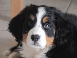 Heaven, chien Bouvier bernois