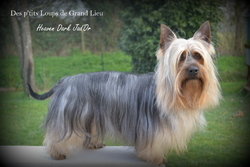 Heaven Dark Jad'Or, chien Silky Terrier