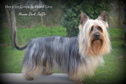 Heaven Dark Jad'Or, chien Silky Terrier
