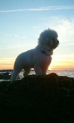Heaven'S Liberty, chien Bichon à poil frisé