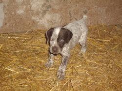 Heavy, chien Braque allemand à poil court