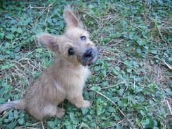 Heavy, chien Cairn Terrier
