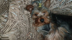 Heavy, chien Yorkshire Terrier