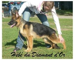 Hébé Du Diamant D'Or, chien Berger allemand