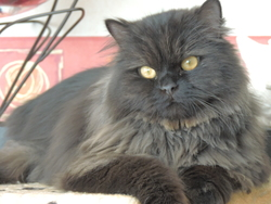 Hébène, chat Persan