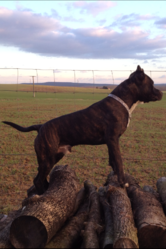 Heboo, chien American Staffordshire Terrier