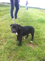 Hecko, chien American Staffordshire Terrier