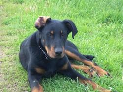 Héclair, chien Beauceron