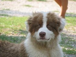 Hector, chien Berger australien