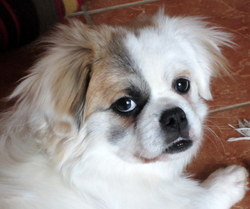 Hector, chien Épagneul tibétain