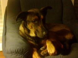 Hector, chien Beauceron