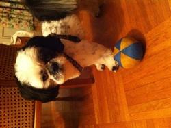 Hector, chien Shih Tzu