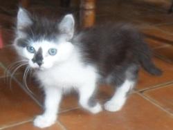 Hector, chat Européen