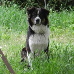 Hector , chien Berger australien