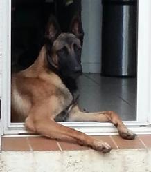 Hector, chien Berger belge