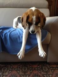 Hector, chien Beagle