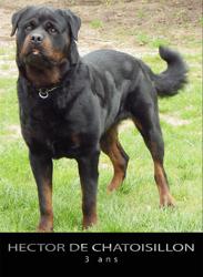 Hector De Chatoisillon, chien Rottweiler