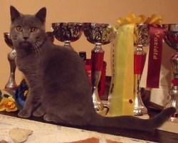 Hector De Robinson Val 36 , chat Chartreux