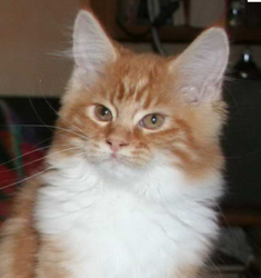 Heden, chat Maine Coon