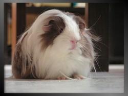 Heden, rongeur Cochon d'Inde
