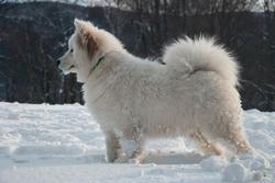 Heden, chien Samoyède