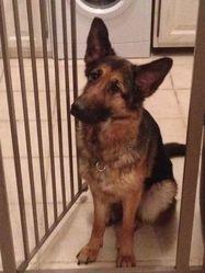 Heden, chien Berger allemand