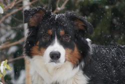 Heden, chien Berger australien