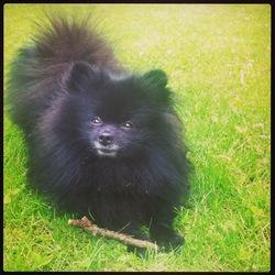 Heden, chien Spitz allemand