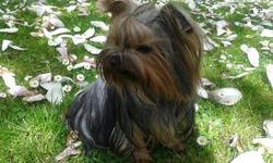 Heden, chien Yorkshire Terrier