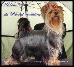 Heden-Boy, chien Yorkshire Terrier