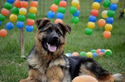 Heep Des Nacrés De Vénus, chien Berger allemand