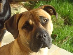 Hefty, chien Dogo canario