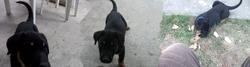 Heidi, chien Beauceron