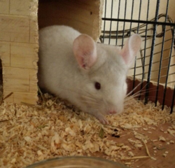 Hyde, rongeur Chinchilla