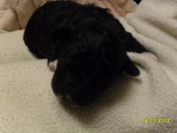 Heidi, chien Bichon à poil frisé