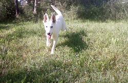 Heidi, chien Berger blanc suisse