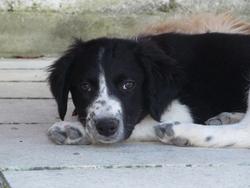 Heidi, chien Border Collie