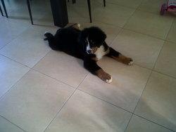 Heidi, chien Bouvier bernois