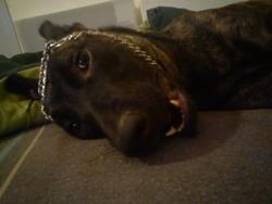 Heidi, chien Berger hollandais