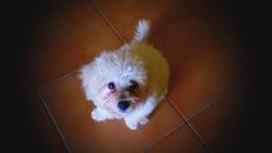 Haidy, chien Bichon maltais