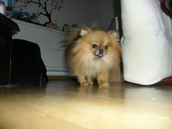 Heidi, chien Spitz allemand