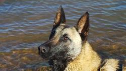 Heidi, chien Berger belge