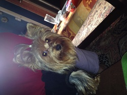 Heidi, chien Yorkshire Terrier
