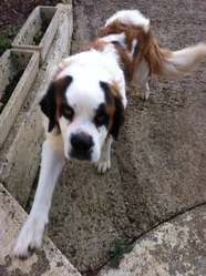 Heidi, chien Saint-Bernard