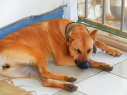 Heidi, chien Cane Corso