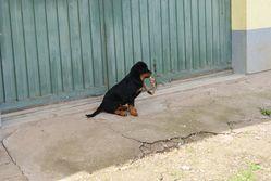Heidi, chien Rottweiler